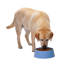 Chrons Disease in Dogs Affects The Intestines